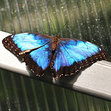 Magical blue Morpho butterfly - wings opened Royalty Free Stock Photo