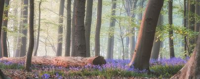 Magical bluebell forest royalty free stock photo
