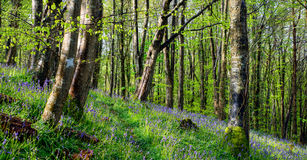Magical Bluebell Woods Royalty Free Stock Photos