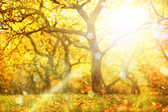 Magical blurry sunny autumn tree background. Magical blurry and sunny autumn season golden light with beams, flare and bokeh. Lovely autumn color tree with royalty free stock photos