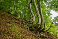 Magical crooked trees in the forest. Albania, Europe stock images
