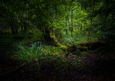 Magical. Dark forest with a few sun rays making its way to the forest floor Stock Photos