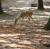 Magical deer Stock Photo