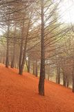 Magical and Fairy Cedar Forest with Thick Fog at the Foot of Mou royalty free stock image
