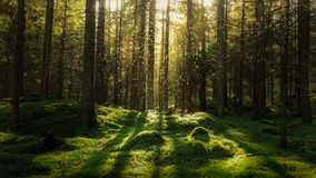 Magical fairytale forest. Coniferous forest covered of green moss. Mystic atmosphere stock photography