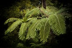 Magical Fern shade in New Zealand. Symbol of New Zealand, Aotearoa country as famous tourist target, silver fern stock photography