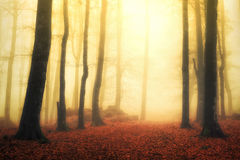 Magical foggy forest with sun rays Royalty Free Stock Photo
