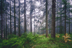 Magical foggy light in conifer forest Royalty Free Stock Image
