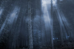 Magical foggy woods Royalty Free Stock Images