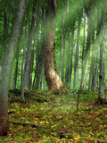 Magical Forest. Beautiful scenery of green forest lightened by sunrays Royalty Free Stock Photography