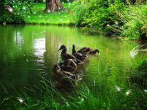 Magical forest. Ducks in a magical forest with fabulous creatures Stock Photography