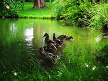 Magical forest. Ducks in a magical forest with fabulous creatures Royalty Free Stock Images