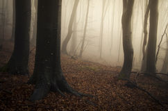 Magical forest with mysterious fog in autumn Stock Photos