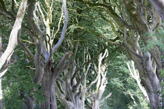 Magical forest, Northern Ireland Royalty Free Stock Photo