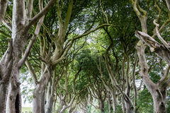 Magical forest, Northern Ireland. The Dark Hedges near Ballymoney, Antrim in Northern Ireland stock photos