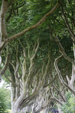 Magical forest, Northern Ireland. The Dark Hedges near Ballymoney, Antrim in Northern Ireland royalty free stock images
