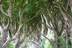 Magical forest, Northern Ireland Stock Image