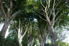 Magical forest, Northern Ireland. The Dark Hedges near Ballymoney, Antrim in Northern Ireland royalty free stock photos