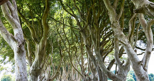 Magical forest, Northern Ireland Royalty Free Stock Photos