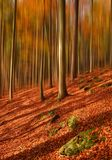 Magical forest. October afternoon in autumn beech forest Stock Photos