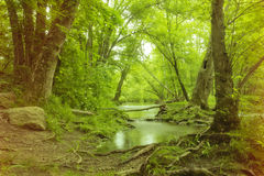 Magical Forest Swamp. Magical summer swamp deep in the forest with leaning oak trees creating tunnel Royalty Free Stock Photos