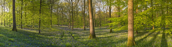 Magical forest and wild bluebell flowers Stock Photos