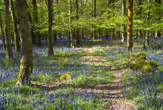 Magical forest and wild bluebell flowers Stock Photo