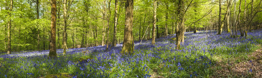 Magical forest and wild bluebell flowers Stock Photography