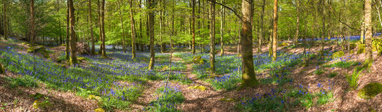 Magical forest and wild bluebell flowers Royalty Free Stock Photography