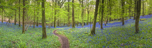 Magical forest and wild bluebell flowers Stock Images