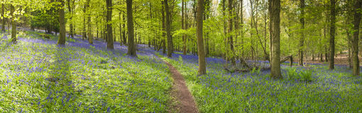 Magical forest and wild bluebell flowers Royalty Free Stock Image