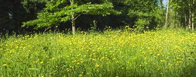 Magical forest and wild buttercup flowers Royalty Free Stock Photography