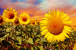 A magical landscape with sunflowers at sunrise against the sky ( Royalty Free Stock Photos