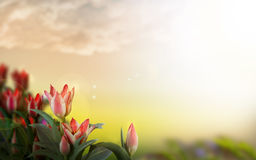 A magical landscape with sunrise over tulip field stock images