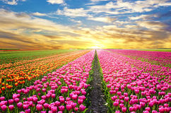 A magical landscape with sunrise over tulip field in the Netherl Royalty Free Stock Photo