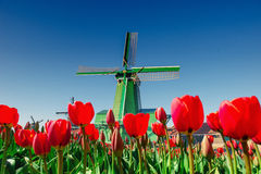 Magical landscape of tulips and windmills in the Netherlands.  Stock Photography