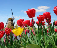 A magical landscape of tulips and windmills in the Netherlands. Stock Image