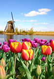 A magical landscape of tulips and windmills in the Netherlands. Royalty Free Stock Image