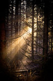 Magical light in the forest Royalty Free Stock Photos