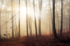 Magical light through the trees in foggy forest Royalty Free Stock Images