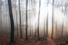 Magical light through the trees in foggy forest Stock Image