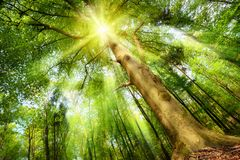 Magical mood with sunrays in a forest. Magical mood in a fresh green forest with the sun shining through a big beech tree's crown and casting beautiful sunrays Royalty Free Stock Photography