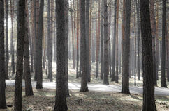 Magical morning in the forest Royalty Free Stock Images