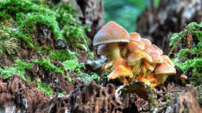 Magical Mushrooms. Autumn, time of the magical mushrooms. This family, surrounded by some moss, look liked the home of elves Royalty Free Stock Photography