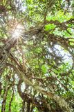 Magical old cactus tree in evergreen primeval forest. View angle shot from bottom up to the sun beaming through the branches of old cactus tree. Ta Phraya stock photography