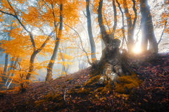 Magical old tree with sun rays in the morning. Amazing forest in. Fog. Colorful landscape with foggy forest, gold sunlight, orange foliage at sunrise. Fairy stock images