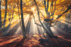 Magical old tree with sun rays in the morning. Magical old forest with sun rays in the morning. Amazing forest in fog. Colorful landscape with foggy forest, gold Stock Photography