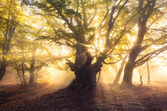 Magical old tree with sun rays at sunrise  Foggy forest Royalty Free Stock Photo
