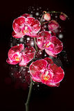 Magical orchid Royalty Free Stock Images
