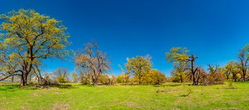 Magical panoramic view of deciduous forest in early Spring with blue sky, near Magdeburg, Germany stock photo